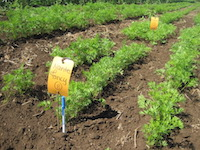 NOVIC carrot variety trial at Oakhill Organics