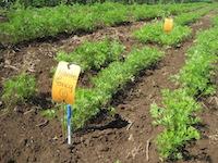 NOVIC carrot variety trial at Oakhill Organics