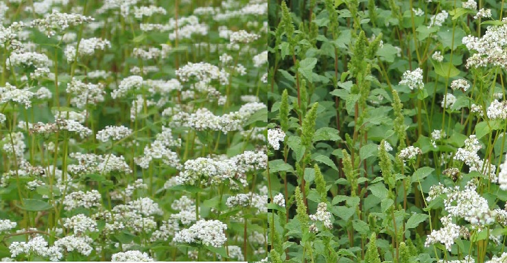 Dense and Light Plantings of Buckwheat and Weed Pressure