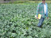 Dr. Jim Myers in farmer Julie Puhich's broccoli crop at Common Ground Farm