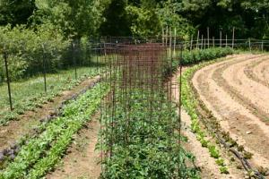 Training Systems and Pruning in Organic Tomato Production
