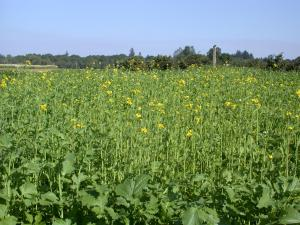 Mustard mix 'Caliente' cover crop in bloom
