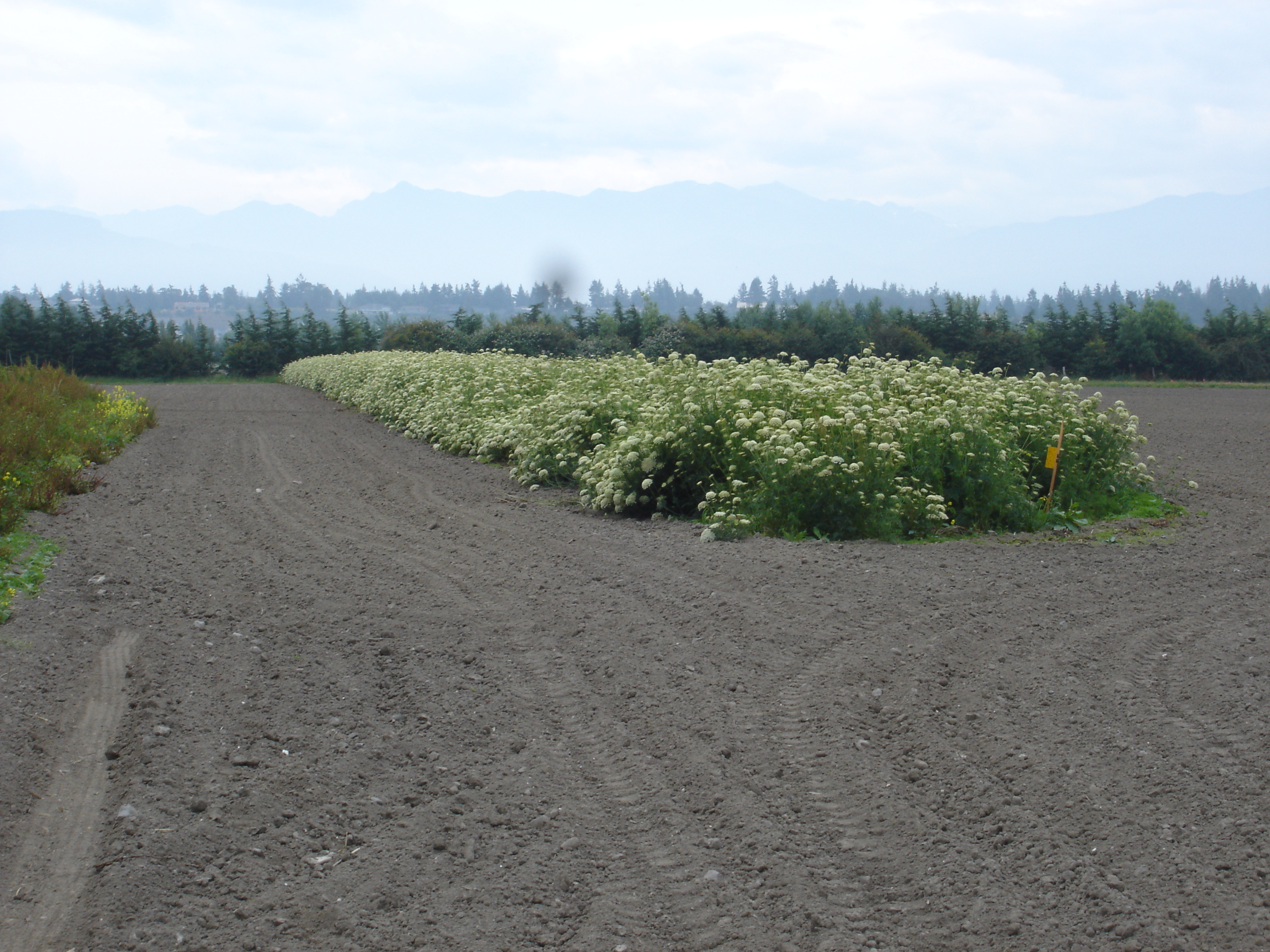 Cultivated carrot seed field