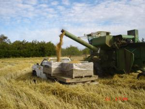 Harvesting seed with a combine.