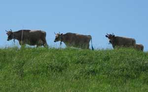 Cows at Mahoney's Brookford Farm