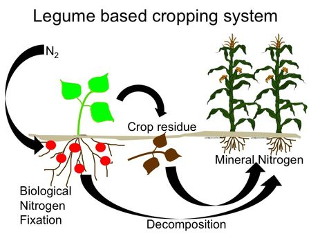 Figure 1. Biological Nitrogen Fixation provides nitrogen fertility in legume-based cropping systems.