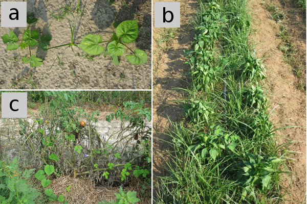 Troublesome weeds for solanaceous crops