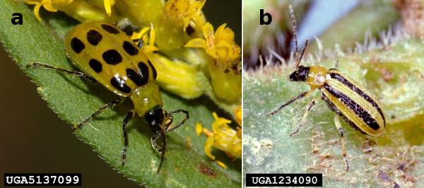 Figure 1. Western spotted cucumber beetle (Diabrotica undecimpunctata undecimpunctata) and striped cucumber beetle (Acalymma vittatum)