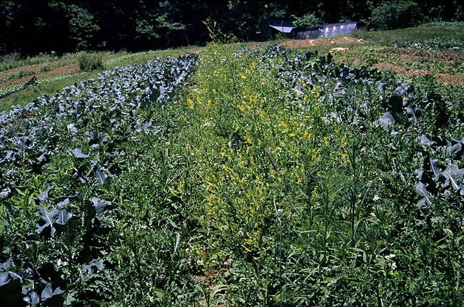 Broccoli in notill mulch invaded by Canada thistle