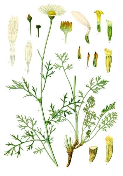 African chrysanthemum, Chrysanthemum cinerariaefolium