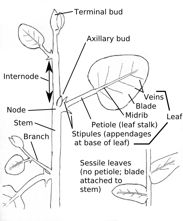 Structure of broadleaf plants