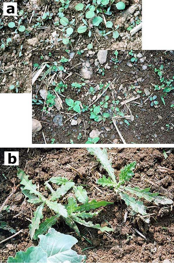 Emerging summer weed flora: germinating seeds vs. sprouting Canada thistle root fragments