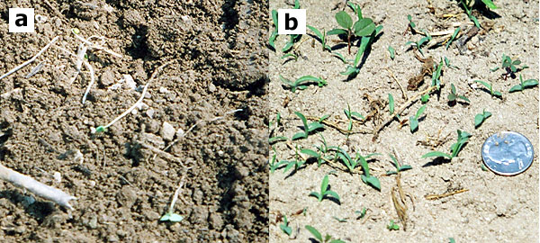 Weeds in the white thread stage are highly susceptible to shallow cultivation