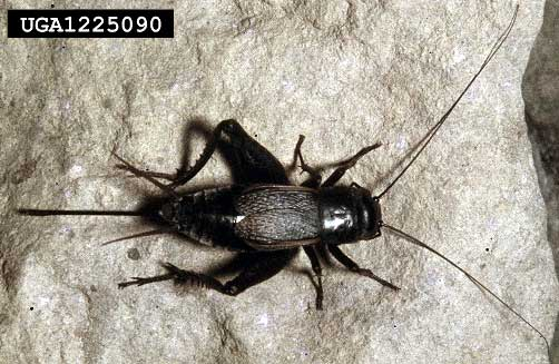 Field cricket, Gryllus pennsylvanicus