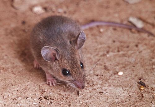 Deer mouse, Peromyscus maniculatus