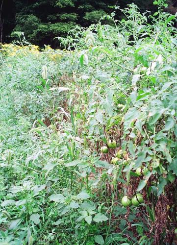 totatoes with leaves lost to fungal foliar disease