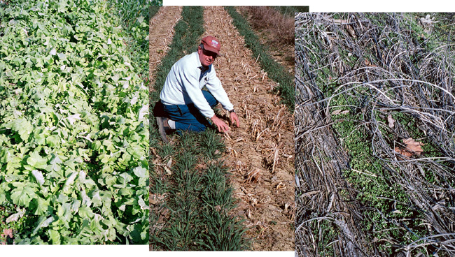 Weed suppression by daikon radish cover crop