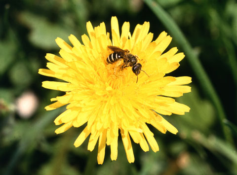Figure 3. Young dandelion flowers are used to make Biodynamic Preparation 506.