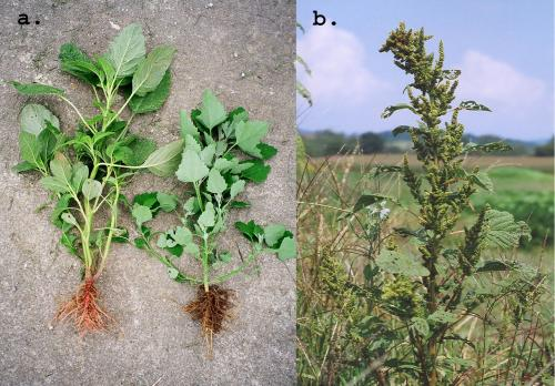 Redroot pigweed (Amaranthus retroflexus) and lambsquarters (Chenopodium album)
