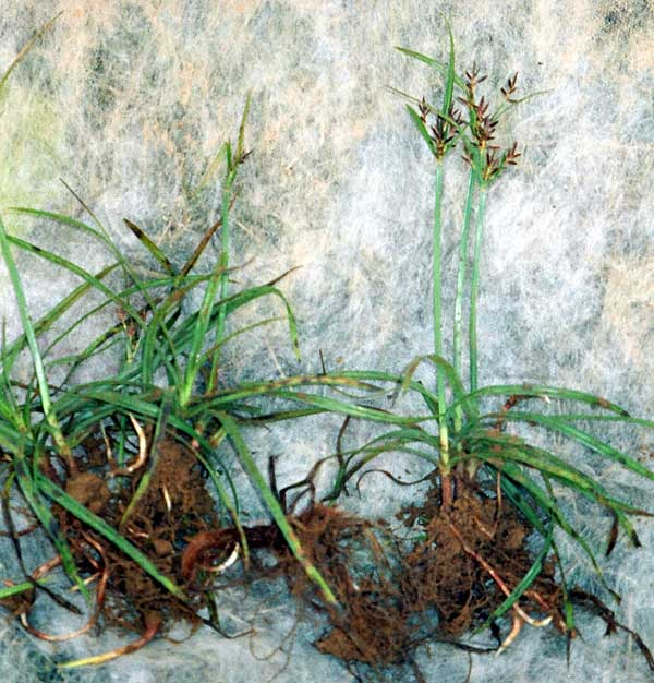 Purple nutsedge, Cyperus rotundus
