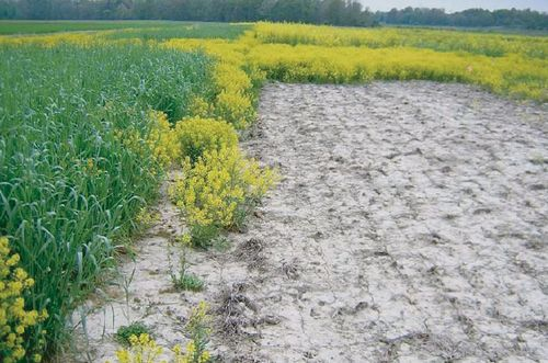 Figure 4 Near-complete weed suppression following radish cover