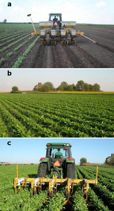 Figure 10 Wide-row radishes