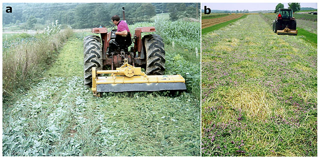 Rolling cover crops in preparation for no-till transplanting