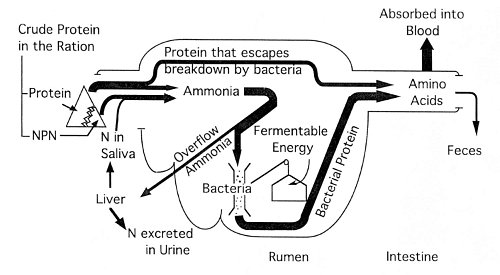 Figure 3. Schematic summary of nitrogen utilization by the dairy cow and other ruminants.