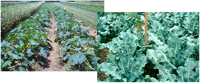 Squash and brocolli in rye-vetch cover crop mulch