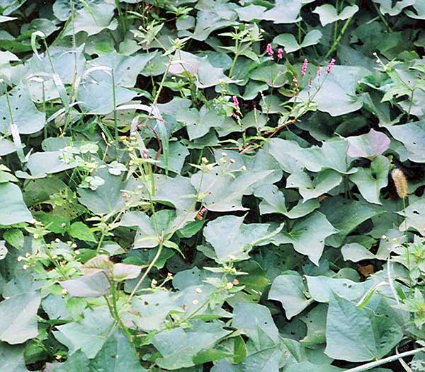 flowering weeds in this sweet potato crop will set seed unless removed