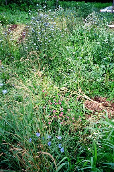 weedy field margins may have benefits or cause problems