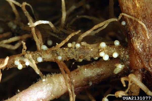 Figure 3. Symptoms of white potato cyst nematode, Globodera pallida.