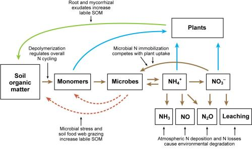 The soil nitrogen cycle. Mineralization refers to the microbial breakdown of organic N to form NH4+. Nitrification is the microbial oxidization of NH4+ to form NO3-. Denitrification is the reduction of NO3- under moist conditions to form N2O and N2 gas.