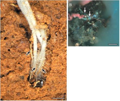 (A) Roots of canola growing into a soil pore, in close contact with each other and dead roots of wheat (black arrows). Root hairs (white arrow) extend from the canola roots to bind to soil, and other living and dead remnant roots. This shows the close proximity of microbes and roots on decaying organic matter. Bar = 3 mm. (B) Root hair of wheat associated with some dark soil organic matter, bacteria (bright blue spots; some indicated by arrows) and soil particles, again illustrating the interaction between roots, organic matter and microbes.