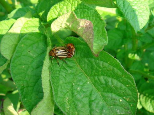 Colorado potato beetle adults