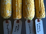 corn with breeding tags