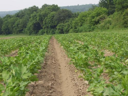 Parsnip field at Kestrel Farm after cultivation between the beds