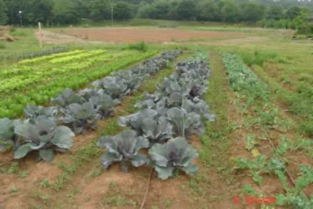Companion planting example with cabbage