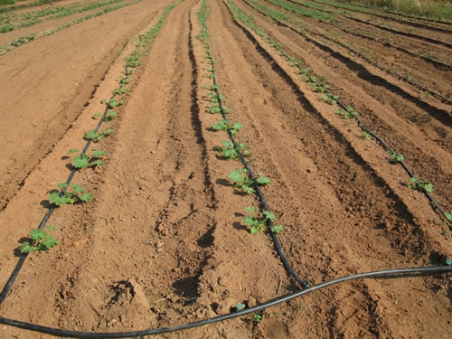 Weed Management Strategies For Organic Cucurbit Crops In