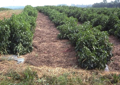 Image result for mulching in organic farming