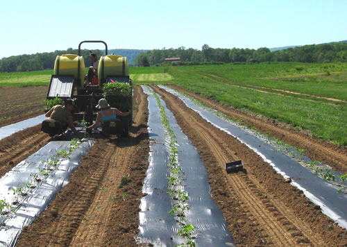Mulching For Weed Management In Organic Vegetable