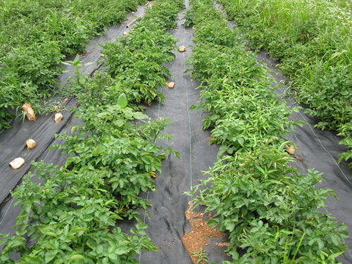 Synthetic Mulching Materials For Weed Management - EXtension