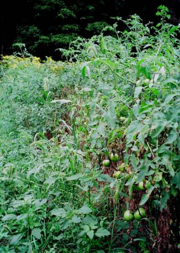 Late-season weeds in tomatoes
