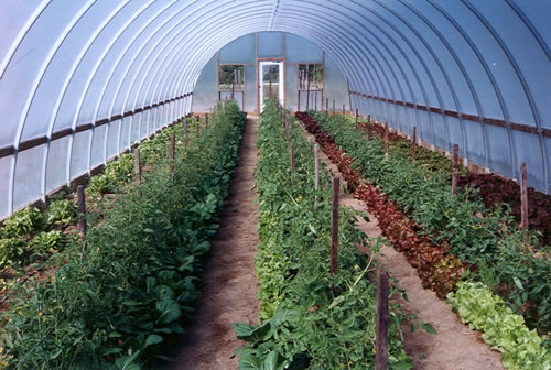Companion-cropped high tunnel tomatoes