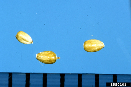 Yellow nutsedge seeds