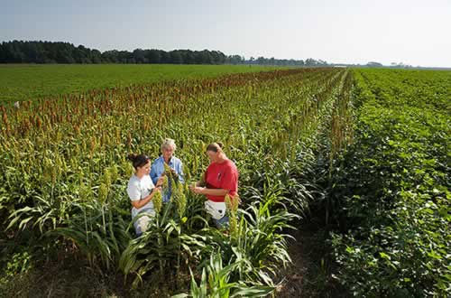 researchers in a sorghum field