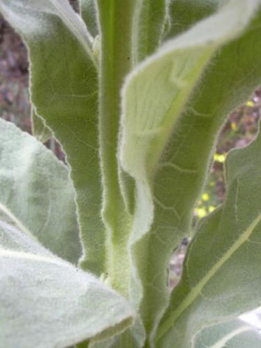 Common Mullein (Verbascum thapsus) leaves are covered in dense, stellate trichomes.
