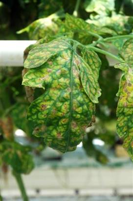 Managing Diseases of Organic Tomatoes in Greenhouses and