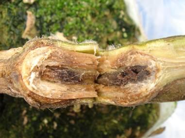 pseudomonas corrugata pith necrosis of tomato essay Pseudomonas corrugata: pith necrosis of tomato - abis encyclopedia defines pseudomonas corrugata as a gram-negative aerobic this essay.