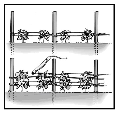 Training Systems and Pruning in Organic Tomato Production - eXtension